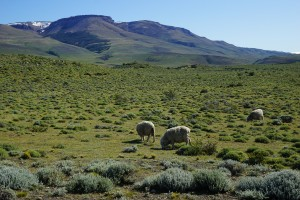 Sheep in Tiarra Chile Patagonia grazing