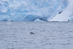 Penguin swimming - blue background