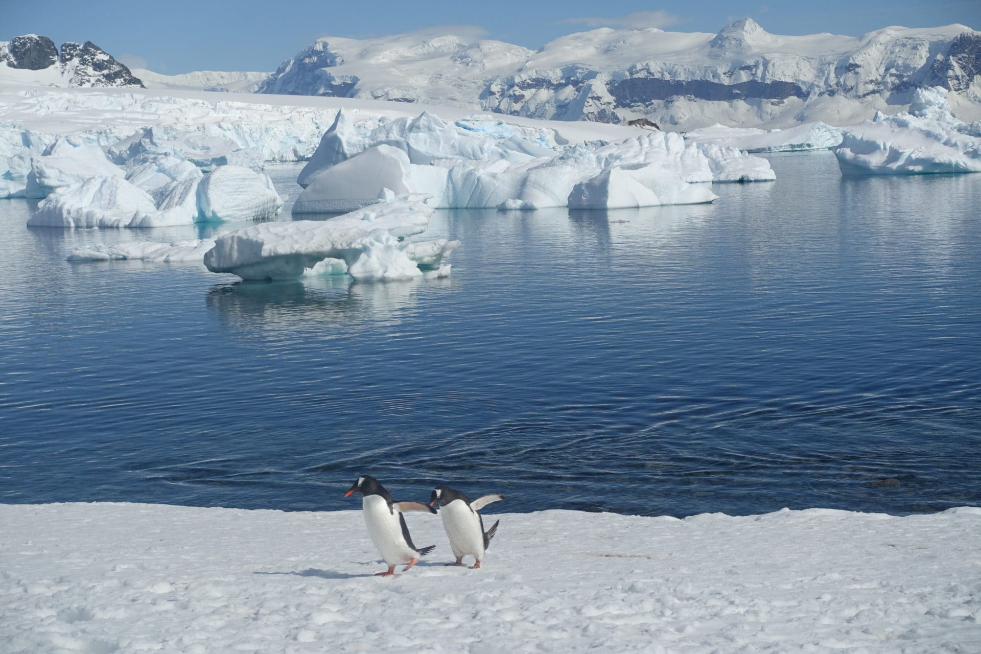 Two penguins walking