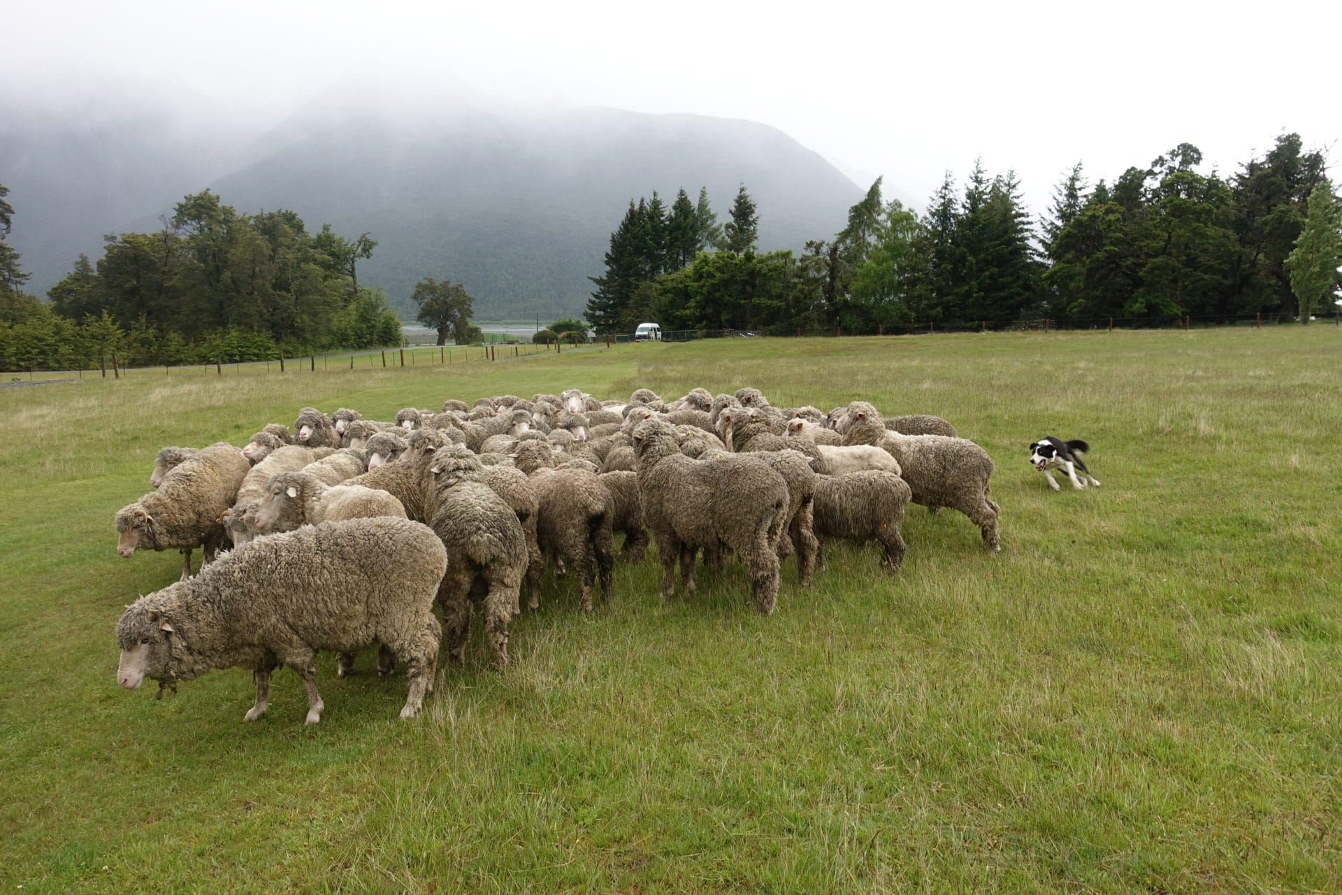 dog-in-action-rounding-up-sheep