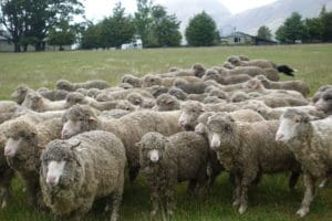 sheep-rounded-in-focus-frontjpg