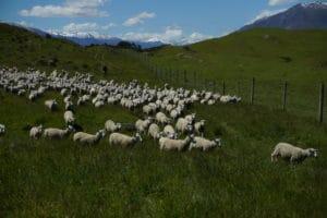 heard-of-sheep-running-4